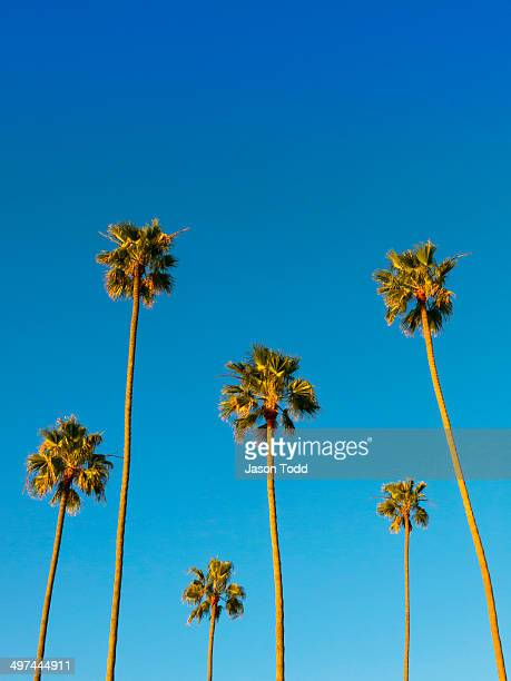 Group of tall palm trees with blue sky