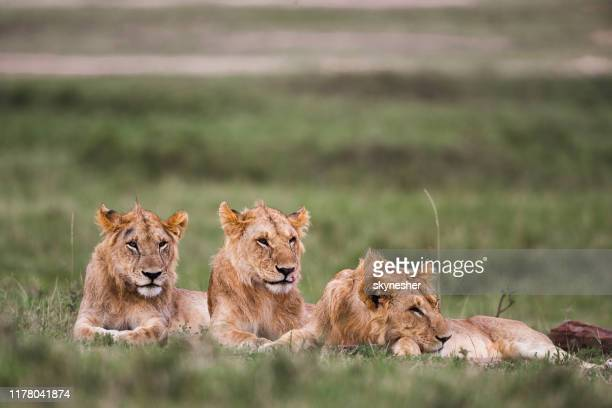 group of teenage lions relaxing in grass. - male animal stock pictures, royalty-free photos & images