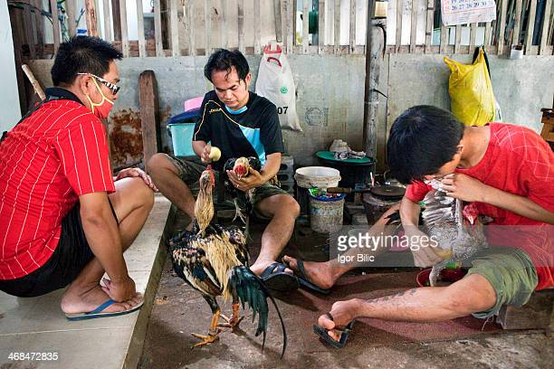 Group of Thai men grooming and preparing their roosters for upcoming fights. Fighting cock or a rooster is a specific breed of bird that has a...