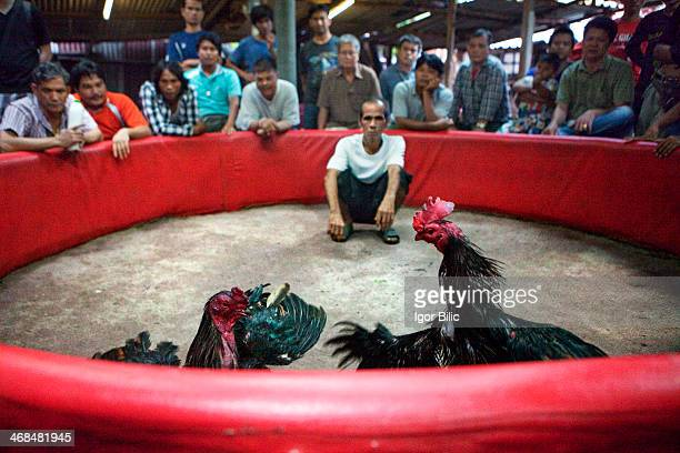 CONTENT] A group of Thai men watching cock fights in Bangkok Fighting cock or a rooster is a specific breed of bird that has a predisposition to...