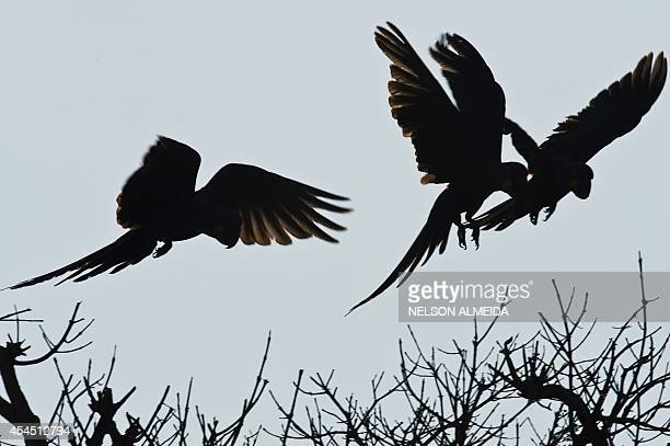 A group of the Blue Arara or Hyacinth Macaw flies over the tree in Caceres Brazil the gateway to the Pantanal on August 25 2014 Often referred to as...
