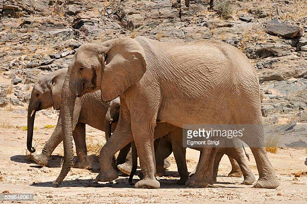group of the rare namibian desert elephant -loxodonta africana-, hoanib river, namib desert, kaokoland, kaokoveld, kunene province, namibia - desert elephant stock pictures, royalty-free photos & images