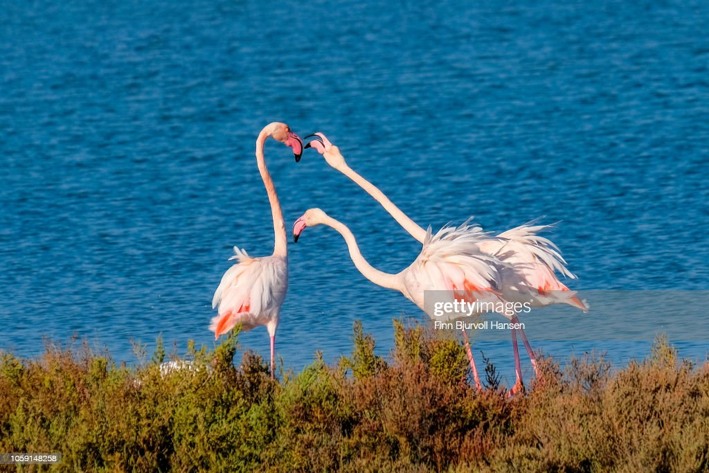 Group of three flamingoes arguing : ストックフォト