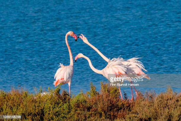 group of three flamingoes arguing - finn bjurvoll stock pictures, royalty-free photos & images