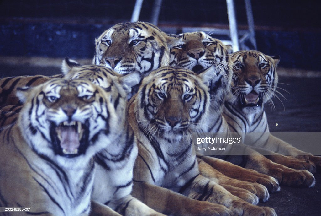 Group of tigers lying in circus arena : Stock Photo