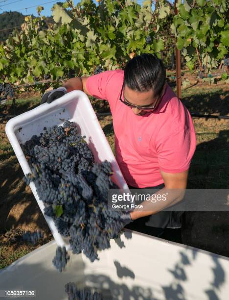 A group of top sommeliers try their hand at harvesting ripe counoise grapes on October 8 near Healdsburg California A cool spring and mild summer...