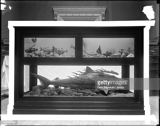 Group of Tropical American Fishes Tiger Shark Galeocerdo tigris or G cuvier with 38 young Other small fish dioramas Trigger fish upper left box far...