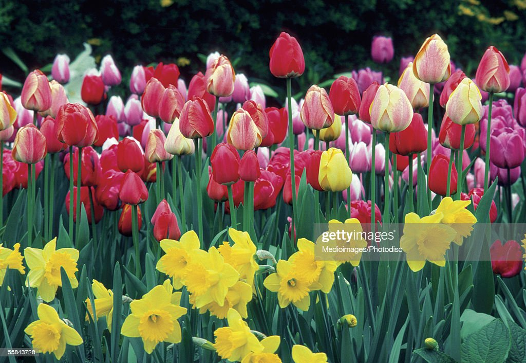 Group of Tulips and Daffodils in a field, Netherlands : Stock Photo