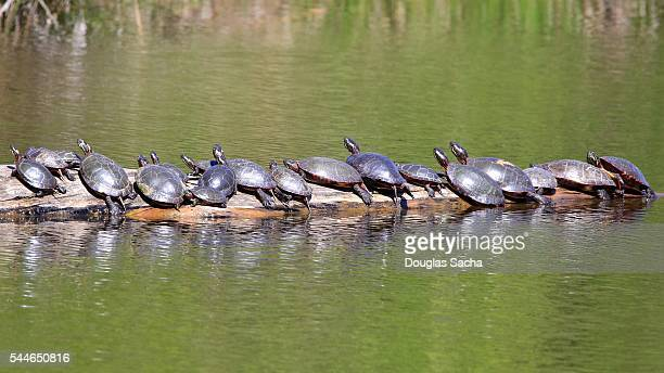 Group of Turtles on a swamp log  (Chrysemys picta)