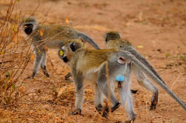 Group of Vervet monkey (Chlorocebus pygerythrus)