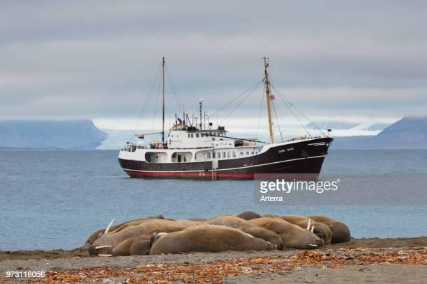 Group of walruses resting on beach at Phippsoya in Sjuoyane archipelago north of Nordaustlandet Svalbard Norway