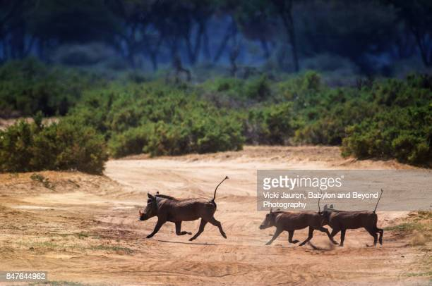group of warthogs running in samburu - facocero foto e immagini stock