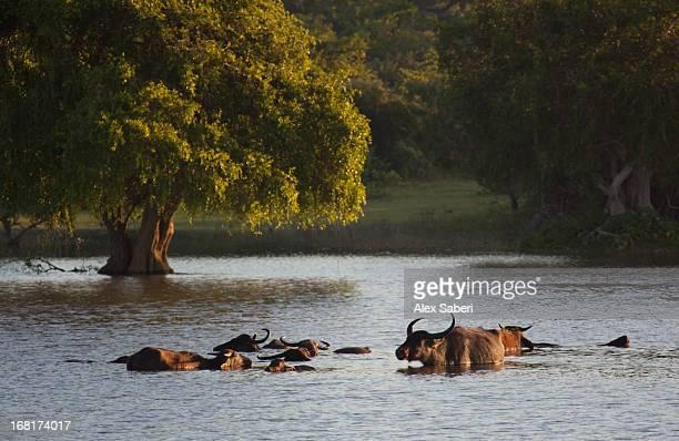 a group of water buffalo taking an early morning swim in yala park. - alex saberi stockfoto's en -beelden