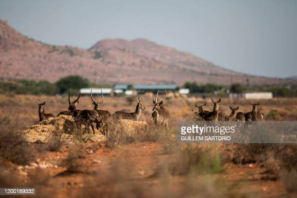 A group of waterbucks can be seen at one of the feeding points at the Thuru Lodge game farm near Groblershoop on January 15 2020 In the Northern Cape...