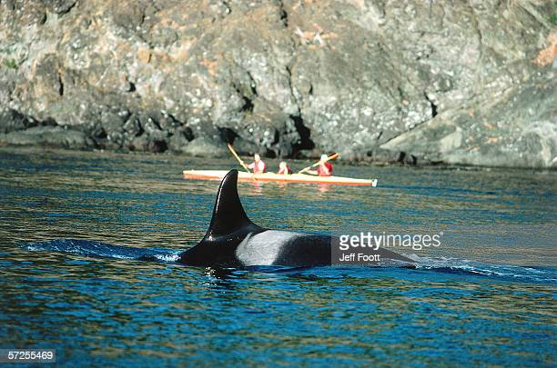 Group of whale watchers observes a surfacing killer whale. Orcinus orca. San Juan Island, Washington, North America.