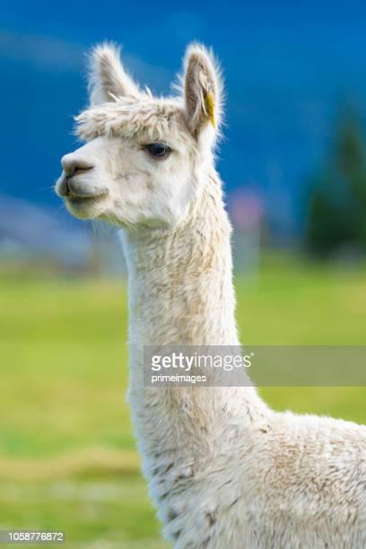 groupe d'alpaca blanc dans l'île du sud de la nouvelle-zélande - lama photos et images de collection