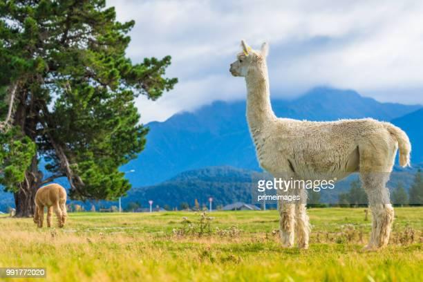 groupe d'alpaca blanc dans l'île du sud de la nouvelle-zélande - alpaga photos et images de collection