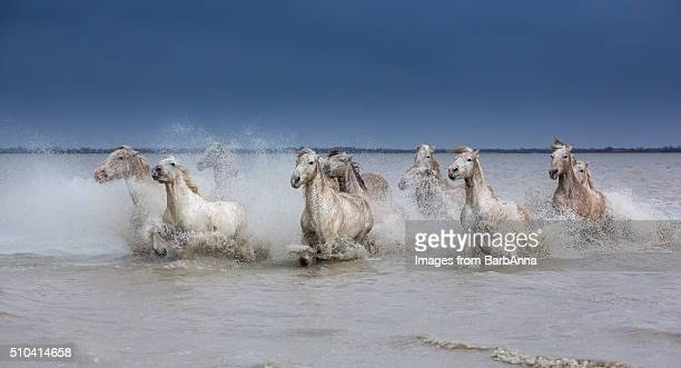 Group of white Camargue horses running powerfully through water, Camargue region, France