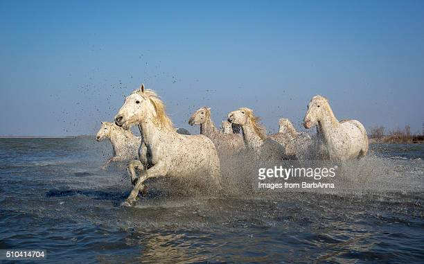 Group of white Camargue horses running through water, Camargue region, France