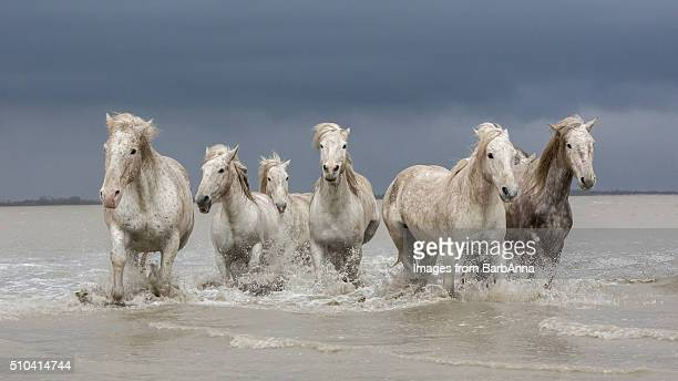 Group of white Camargue horses walking through water, Camargue region, France