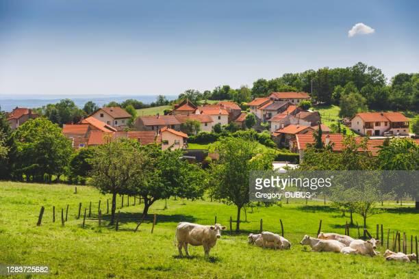 grupp vita kor som betar nära en liten gammal fransk by på kullen i alperna på våren - ain bildbanksfoton och bilder