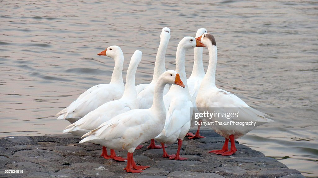 A group of white ducks looking out