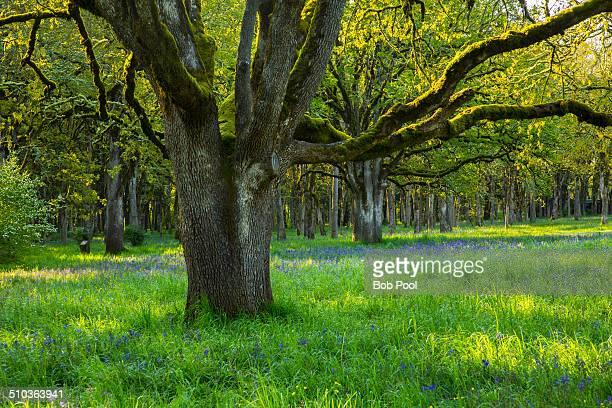 Group of white oak  trees, Bush Park Salem Oregon