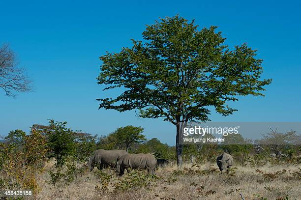 A group of White rhinoceros in MosioaTunya National Park near Livingston in Zambia
