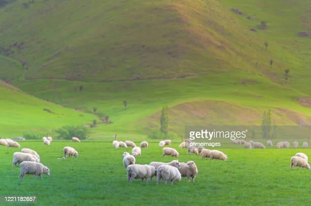 group of white sheep in south island new zealand with nature landscape background - wool stock pictures, royalty-free photos & images