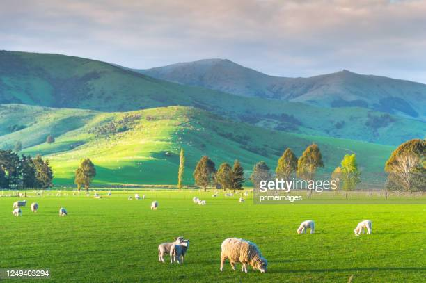 group of white sheep in south island new zealand with nature landscape background - otago region stock pictures, royalty-free photos & images