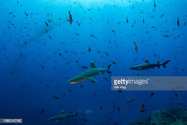 Group of white tip reef sharks and a school of jack fish on the background in the scuba diving site of El Boiler, San Benedicto Island,...