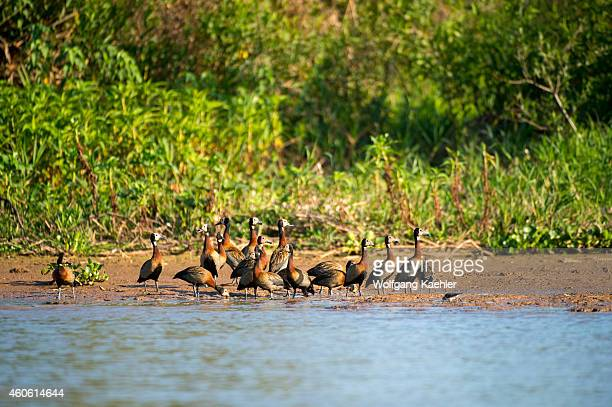 Group of White-faced whistling duck on a beach along the Cuiaba River near Porto Jofre in the northern Pantanal, Mato Grosso province in Brazil.