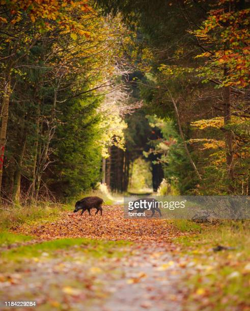group of wild boars in the middle of forest - wild boar stock pictures, royalty-free photos & images