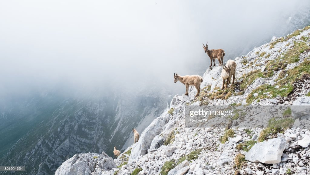Group of wild chamois on a cliff in Italian dolomites : Stock Photo