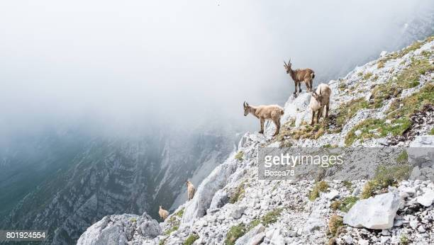 Group of wild chamois on a cliff in Italian dolomites