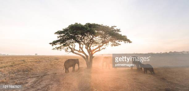 group of wild elephants walking in the tropical rainforest meadow field at sunrise - asian elephant stock pictures, royalty-free photos & images