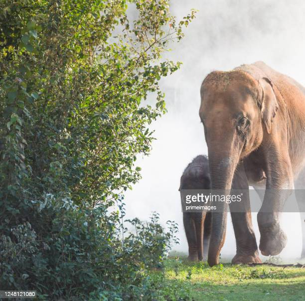 group of wild elephants walking in the tropical rainforest meadow field at sunrise - north stock pictures, royalty-free photos & images