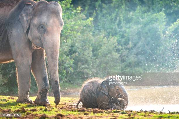 group of wild elephants walking in the tropical rainforest meadow field at sunrise - indian elephant stock pictures, royalty-free photos & images