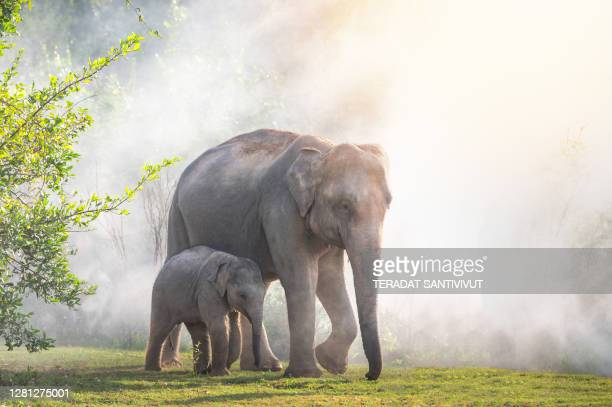 group of wild elephants walking in the tropical rainforest meadow field at sunrise - wildlife reserve stock pictures, royalty-free photos & images