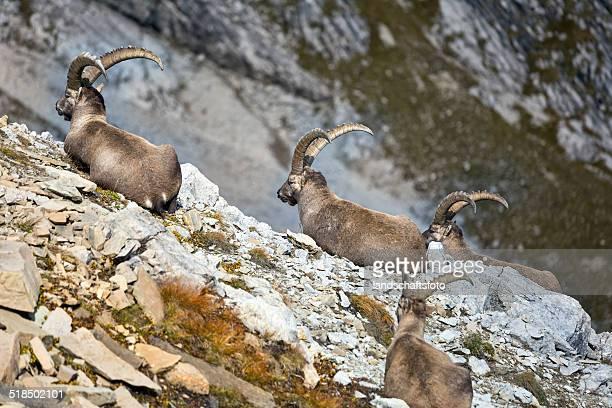 Groupe de wild européenne Bouquetin