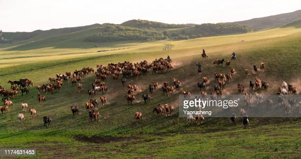 group of wild horse run on the grassland - stampeding stock pictures, royalty-free photos & images