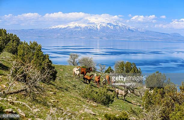 A group of wild horses are seen for the first time as a colony in the mountains of Dereboynu and Agin coves of Inkoy neighborhood of Gevas district...