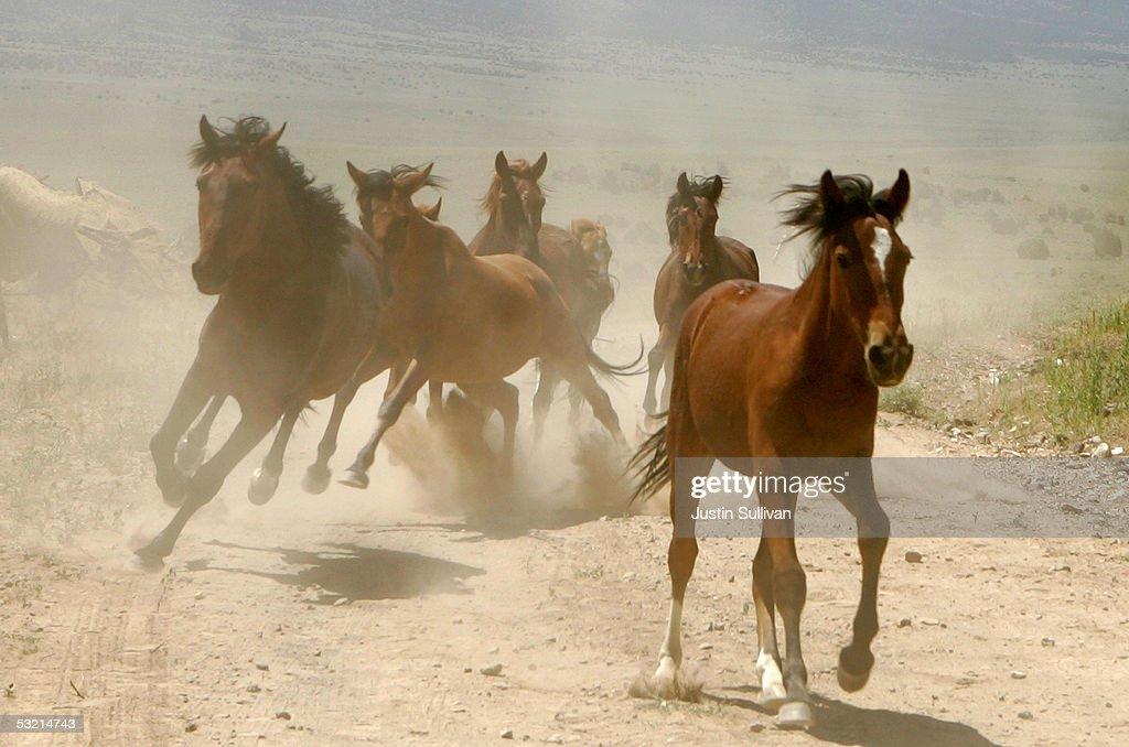 Bureau Of Land Management Rounds Up Wild Horses : News Photo
