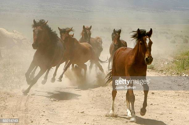 A group of wild horses is rounded up during a gathering July 8 2005 in Eureka Nevada The US Bureau of Land Management wants to reduce herds in the...