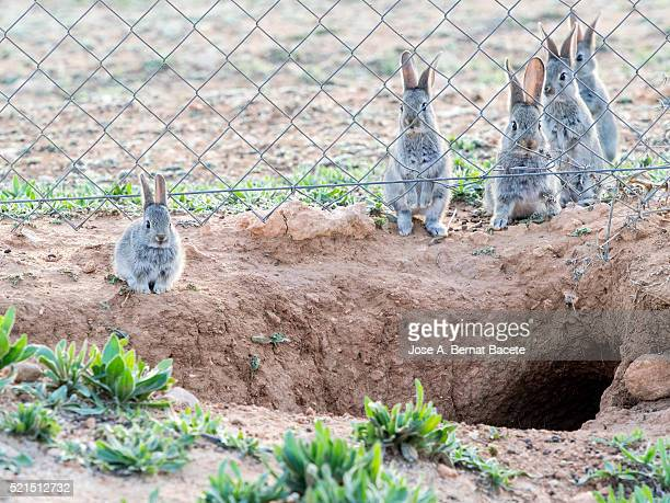 Group of wild rabbits on two legs next to its burrow, ( Species Oryctolagus cuniculus.)