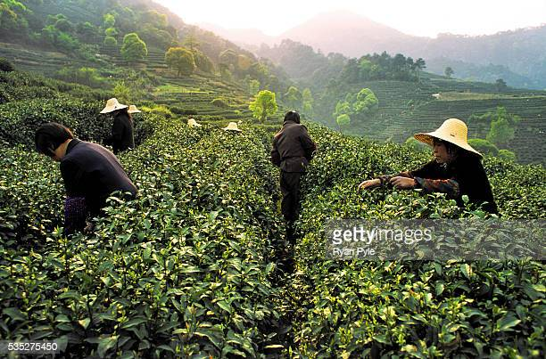 Group of women, seasonal workers, pick tea on a large tea plantation in Hangzhou, China. In China tea is much more than just a warm beverage, it is...