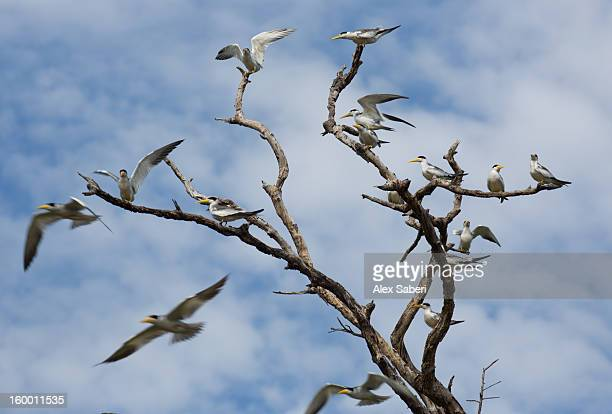 a group of yellow-billed gulls on a tree by the river. - alex saberi stock pictures, royalty-free photos & images