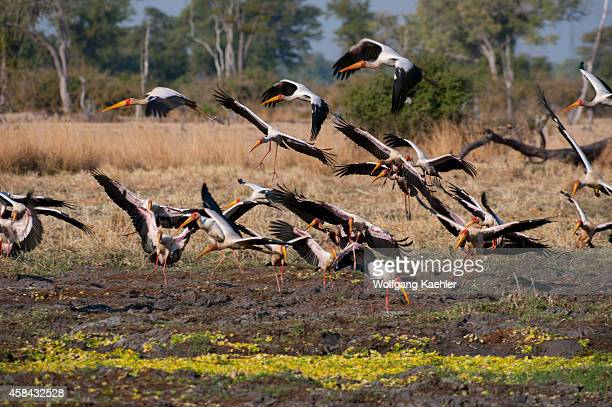 A group of Yellowbilled stork taking off in South Luangwa National Park in eastern Zambia