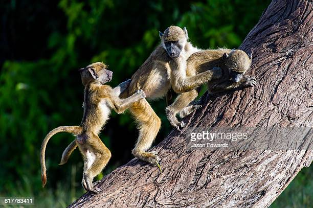 A group of you Chacma Baboons play fighting on a tree trunk.