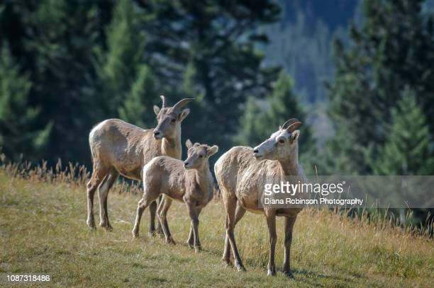 Group of young Bighorn Sheep in the Canadian Rockies near Banff, British Columbia, Canada